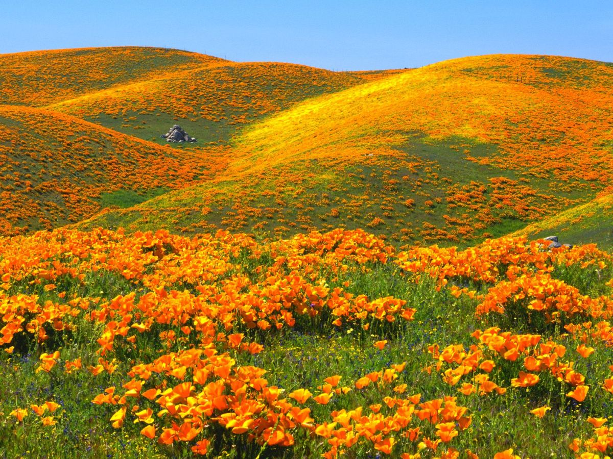 Spring bloom of California poppies
