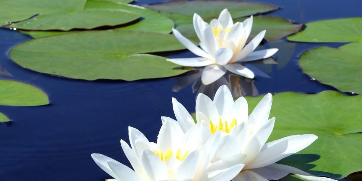 """""""Striving is the lotus blossom"""""""